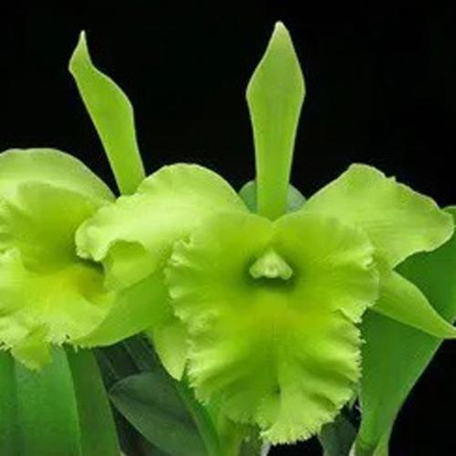 Muda de Orquídea Blc Ports of Paradise Emerald Isle 464