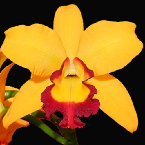 Muda de Orquídea Blc Stephen Crown 20-1