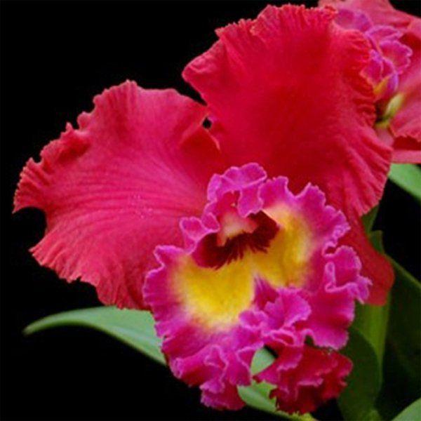 Muda de Orquídea Blc Tainan City 910-PA