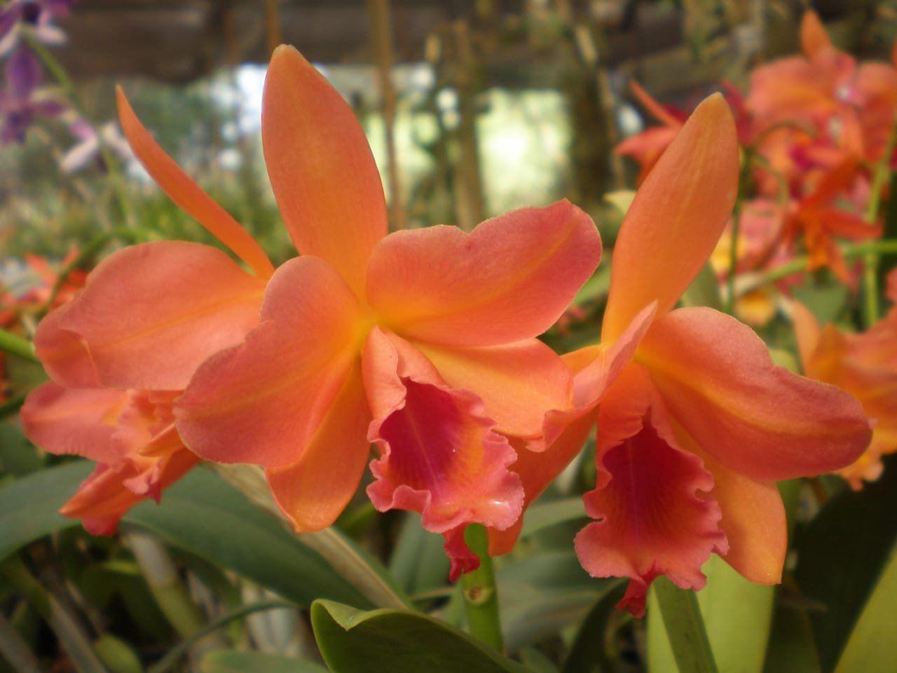 Muda de Orquídea Blc Turandot x Blc Orange Show Cloud Forrest SG-7363