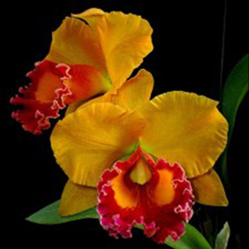Muda de Orquídea Blc Yen 24 Karat 555-1
