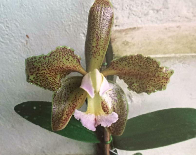 Muda de Orquídea espécie C. Schofieldiana 7067