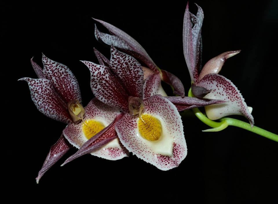 Muda de Orquídea Catasetum Alex Pardo x Dendiculatum
