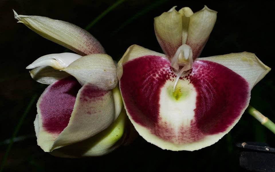Muda de Orquídea Catasetum Pileatum x Durval Ferreira
