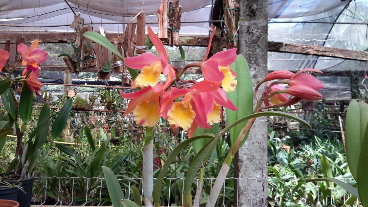 Muda de Orquídea Cattleya Bra antiaerea x Catlleya keri x Blc orange show SG-7259