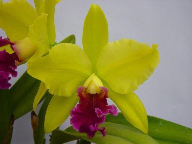 Muda de Orquídea Cattleya Blc. Hausermanns Symphony Pastoral MS1639 ER