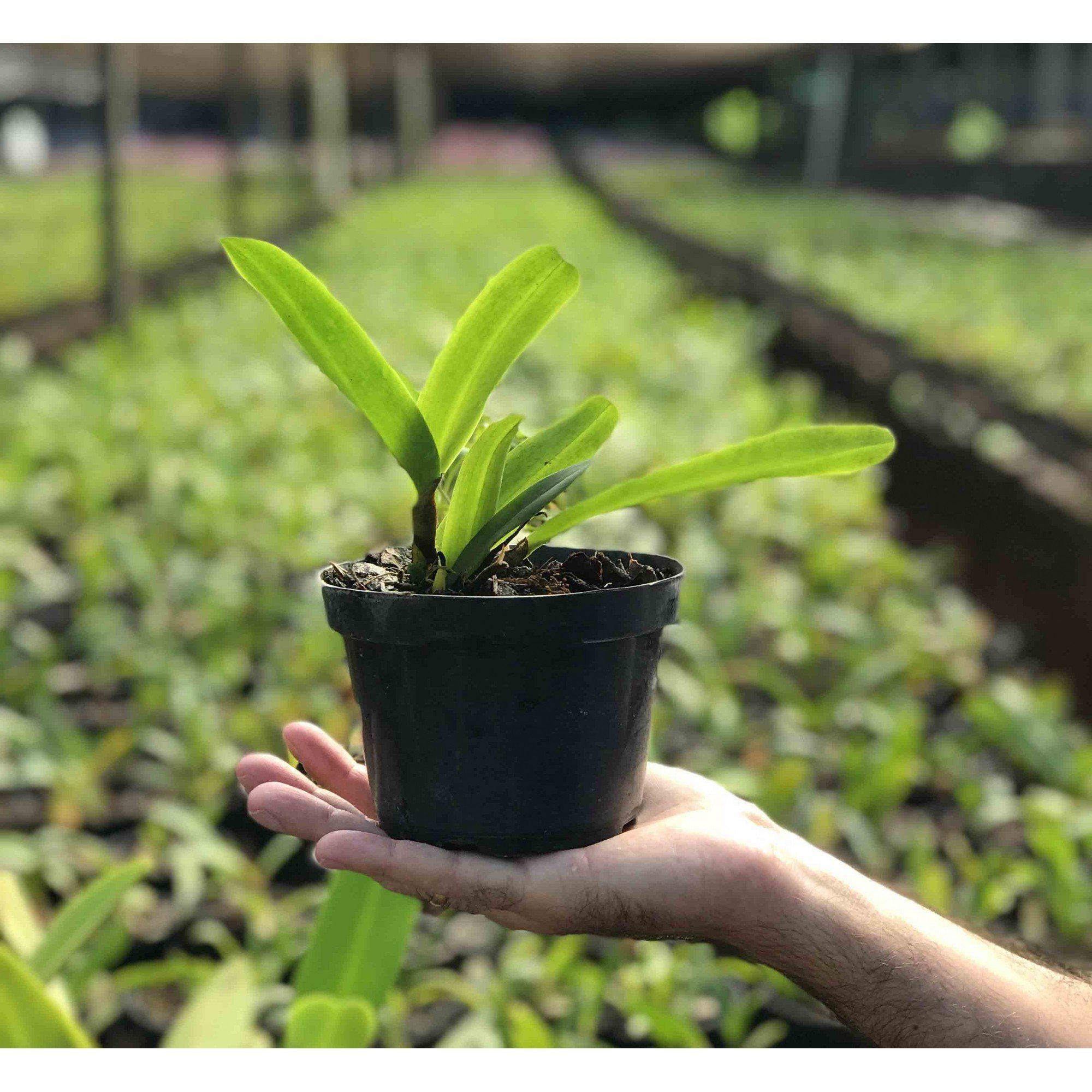 Muda de Orquídea Cattleya Blc. Makaha Gold Carmela x L. Tenebrosa 6740