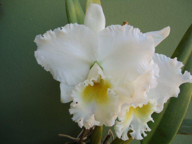 Muda de Orquídea Cattleya C. Earl Imperialis x C. Ruth Gee Carmela 5607