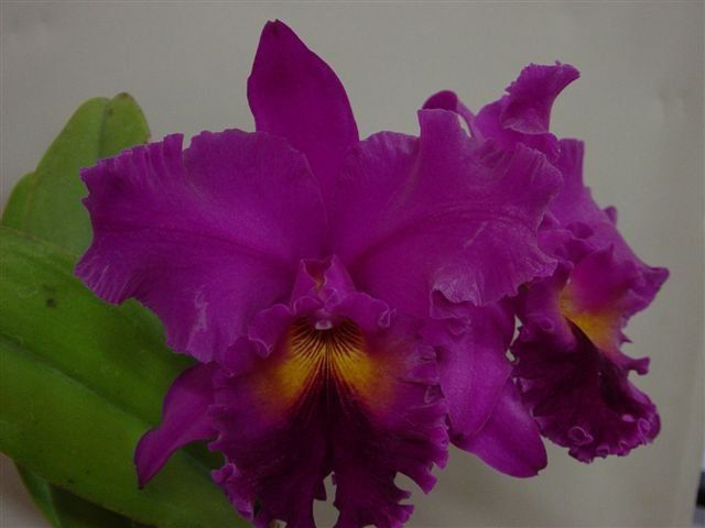 Muda de Orquídea Cattleya Lc. Drumbeat Triumph HCC/AOS x Bc. Turandot Araraquara x Lc. Bonanza Floralia nº 1 MS1546 ER