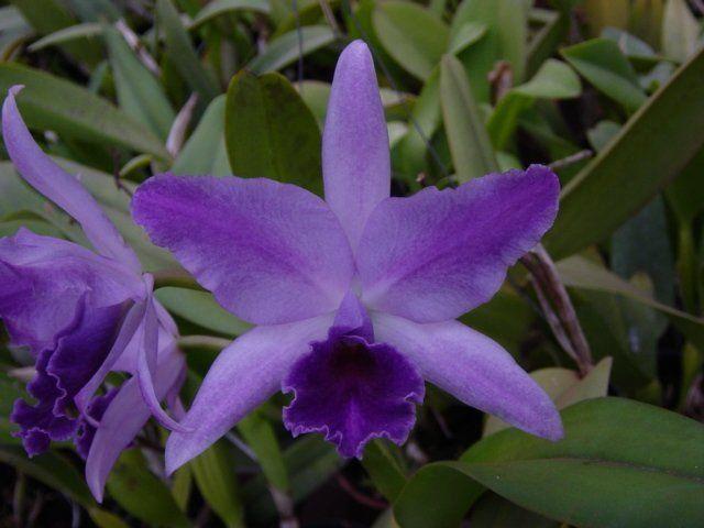 Muda de Orquídea Cattleya Lc. Mary Elizabeth Bohn Royal Flare MS1582 ER