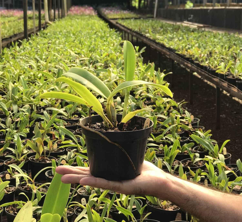 Muda de Orquídea Cattleya Lc. Persepolis Splendor x C. Intermedia aquinii coerulea 7066