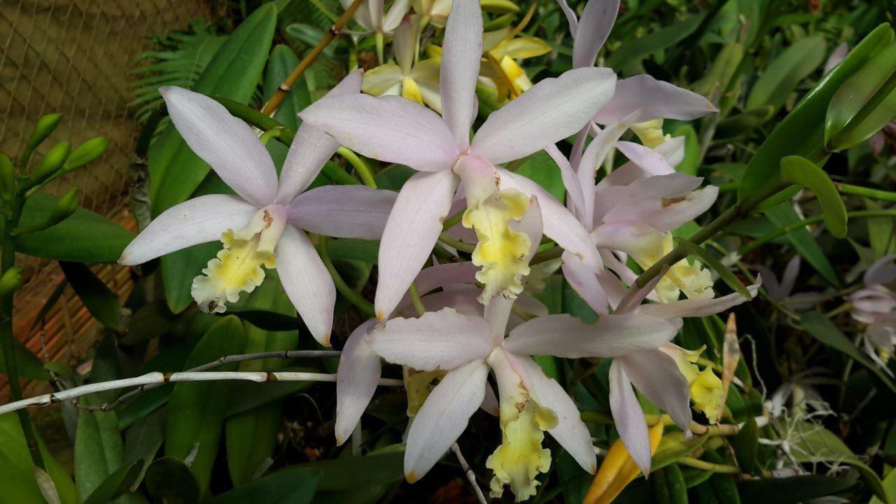 Muda de Orquídea Cattleya Loddigesii x Lc Trico or Traco SG-7261