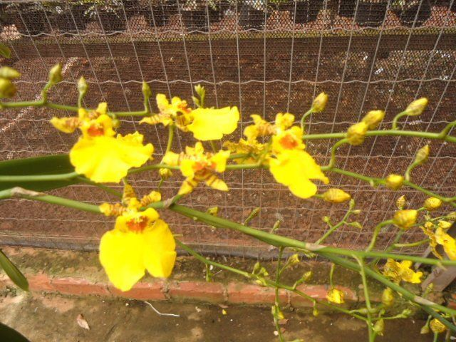 Muda de Orquídea Cattleya Oncidium Sweet Sugar Emperor SQ/JOGA BM/JOGA x Odontocidium Orquidario Silver MS1632