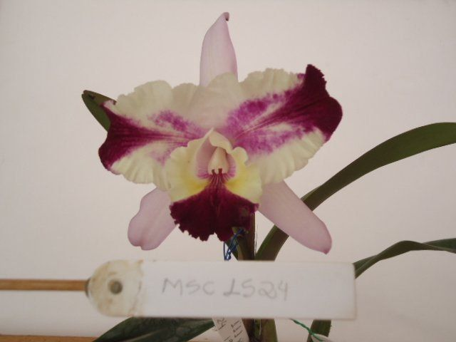 Muda de Orquídea Cattleya Sc. Batemanniana x Lc. Drumbeat Triumph HCC/AOS MS1628 ER