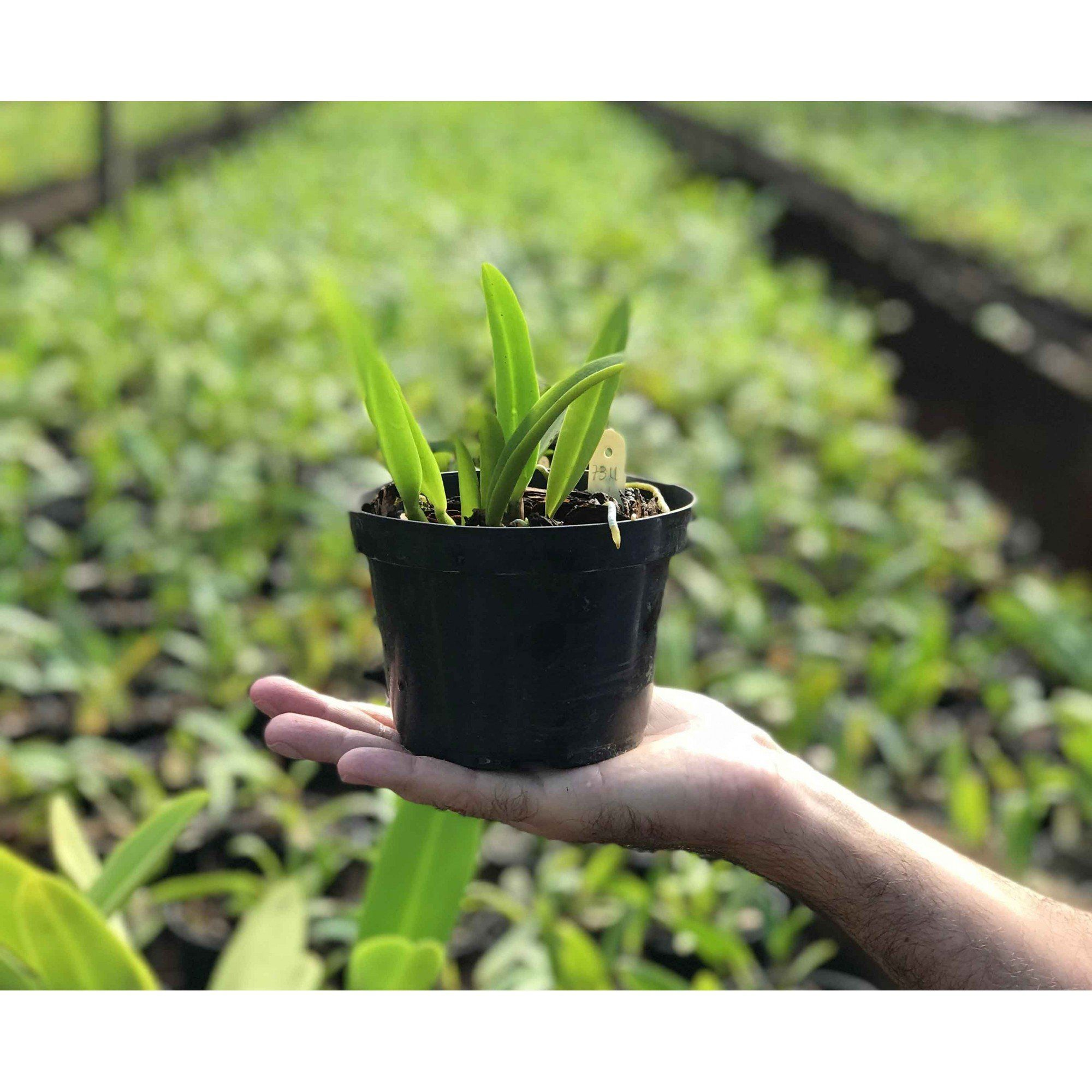 Muda de Orquídea Cattleya SSC Nº 2187 Pot. Sally Taylor Red HCC/AOS x Blc. Owen Holmes Ponkan AM/AOS x SSC Nº 2000 7311
