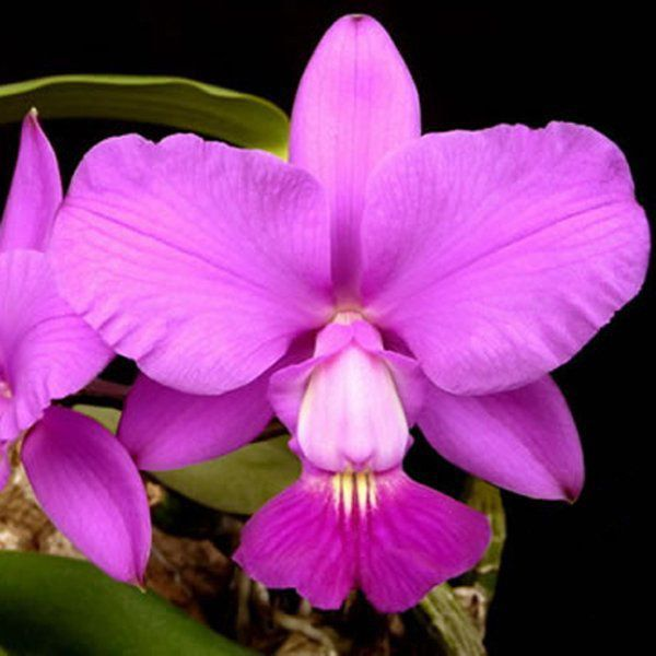 Muda de Orquídea Cattleya walkeriana var. tipo (Pink Smiles x Filha de Carla) ESP-108-2