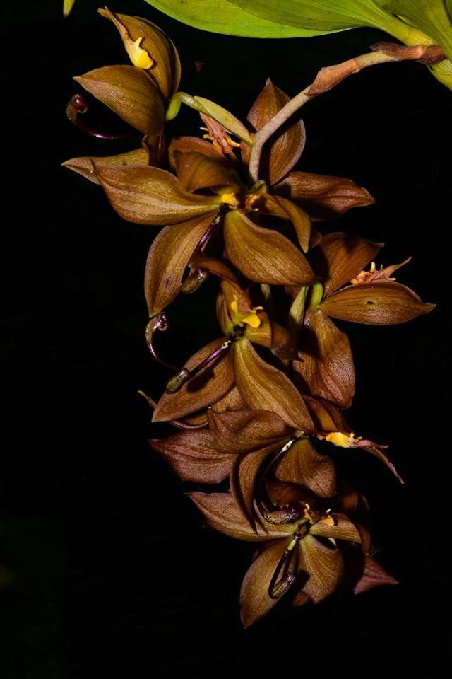 Muda de Orquídea Cycnhoches Cooperi x Herrenhusanum