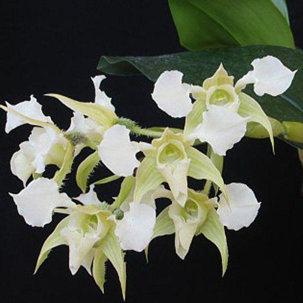 Muda de Orquídea Dendrobium forbesii ESP-126-3