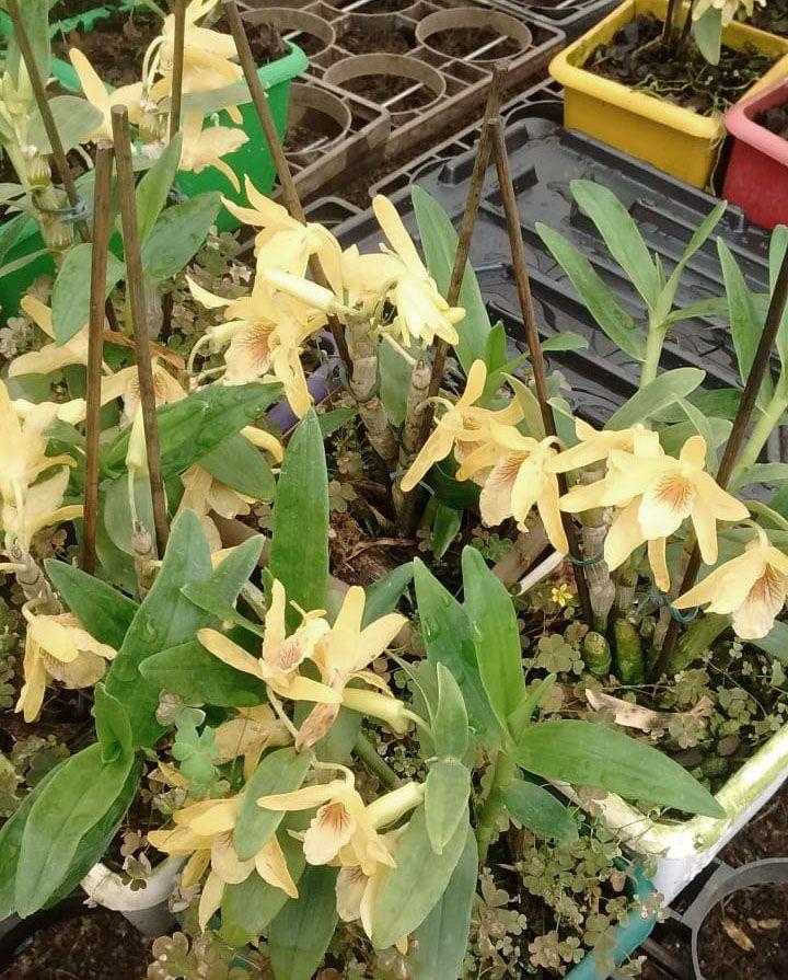 Muda de Orquídea Dendrobium Nobile 15 - DD15