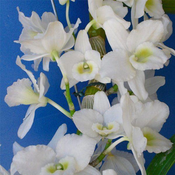Muda de Orquídea Dendrobium Nobile 200 - DD200