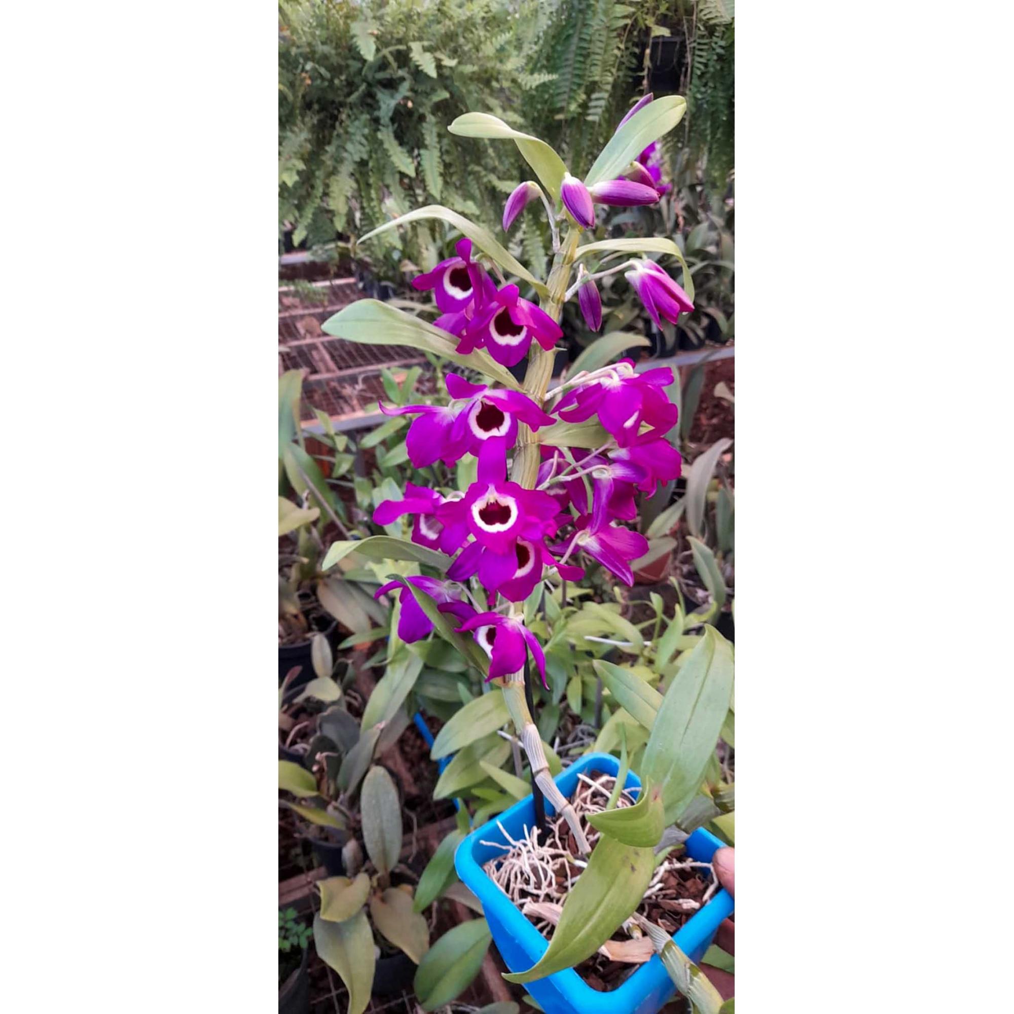 Muda de Orquídea Dendrobium Nobile 2 - DD2