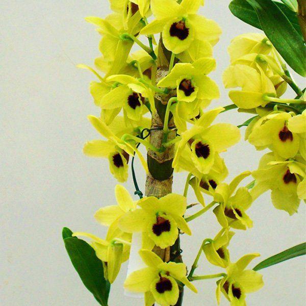 Muda de Orquídea Dendrobium Nobile 33 - DD33