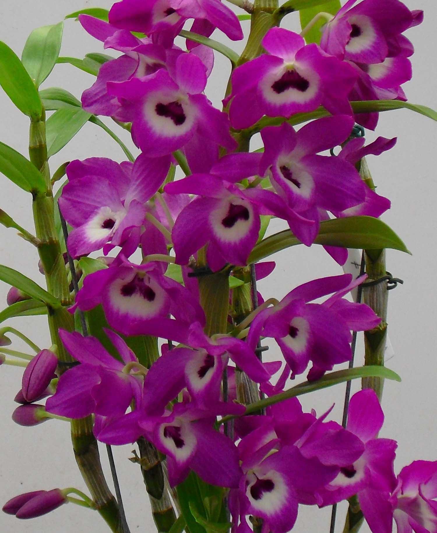 Muda de Orquídea Dendrobium Nobile 48 - DD48PA