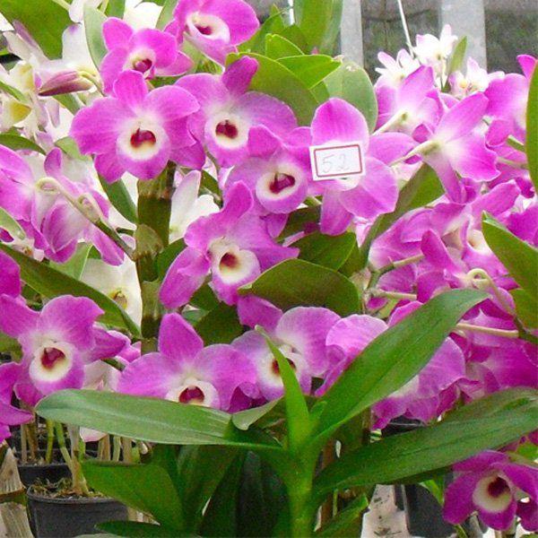 Muda de Orquídea Dendrobium Nobile 52 - DD52
