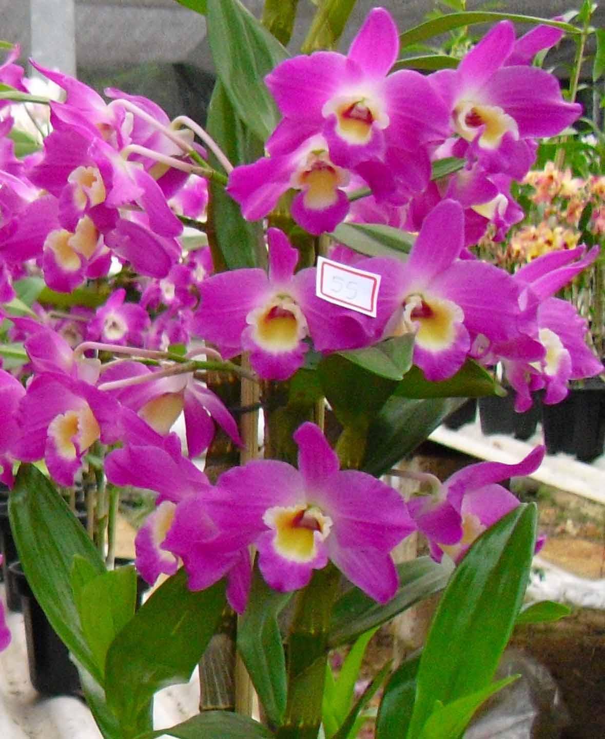 Muda de Orquídea Dendrobium Nobile 55 - DD55PA
