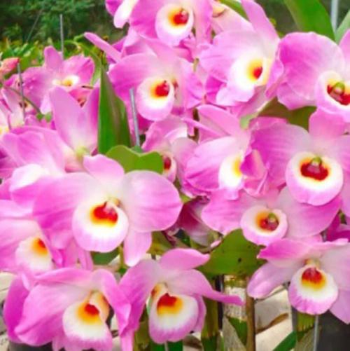 Muda de Orquídea Dendrobium Nobile 68 - DD68