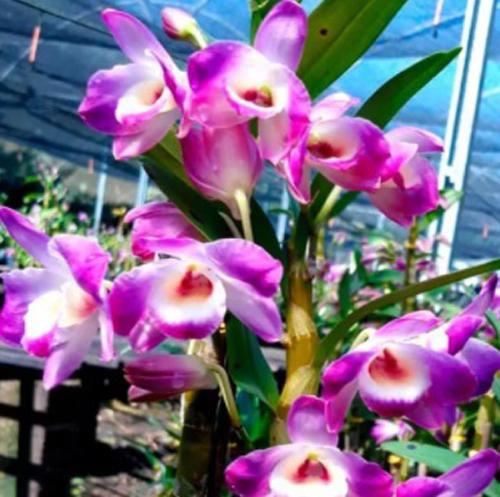 Muda de Orquídea Dendrobium Nobile 69 - DD69