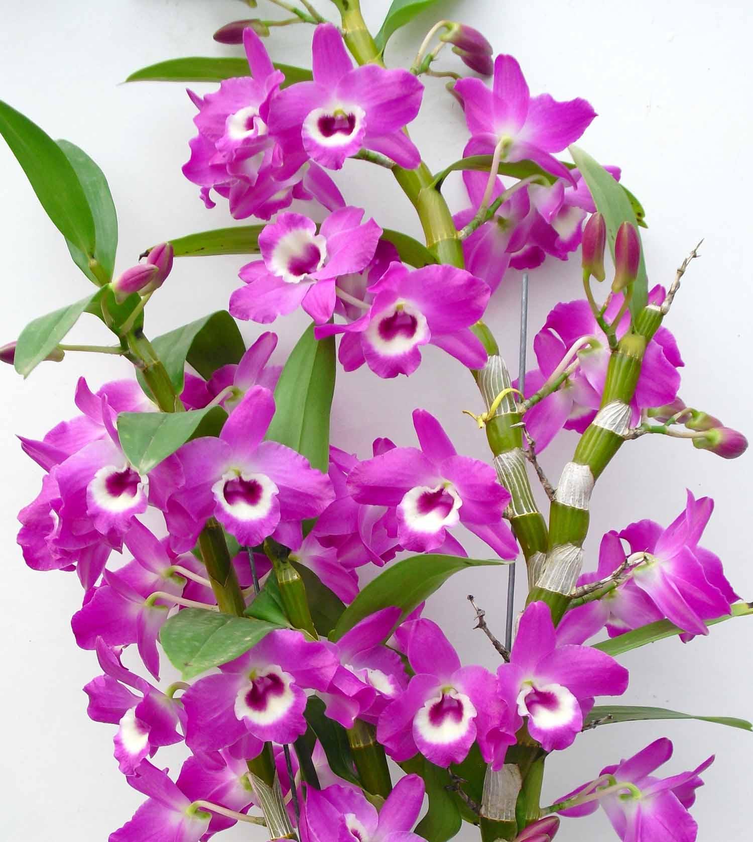 Muda de Orquídea Dendrobium Nobile 70 - DD70PA