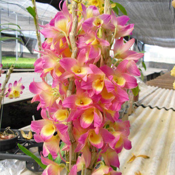 Muda de Orquídea Dendrobium Nobile 94 - DD94
