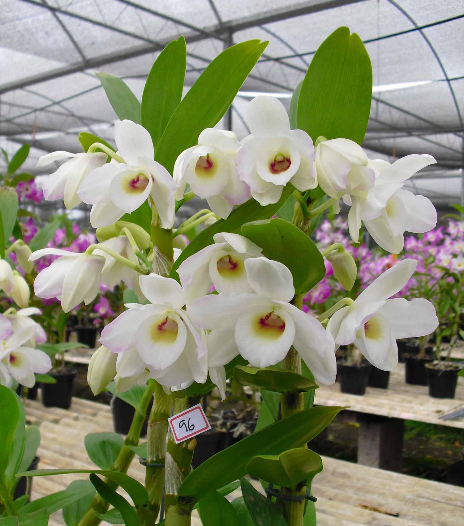 Muda de Orquídea Dendrobium Nobile 96 - DD96PA