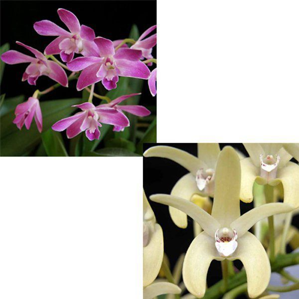 Muda de Orquídea Dendrodium (Berry x speciosum) ESP-134-3
