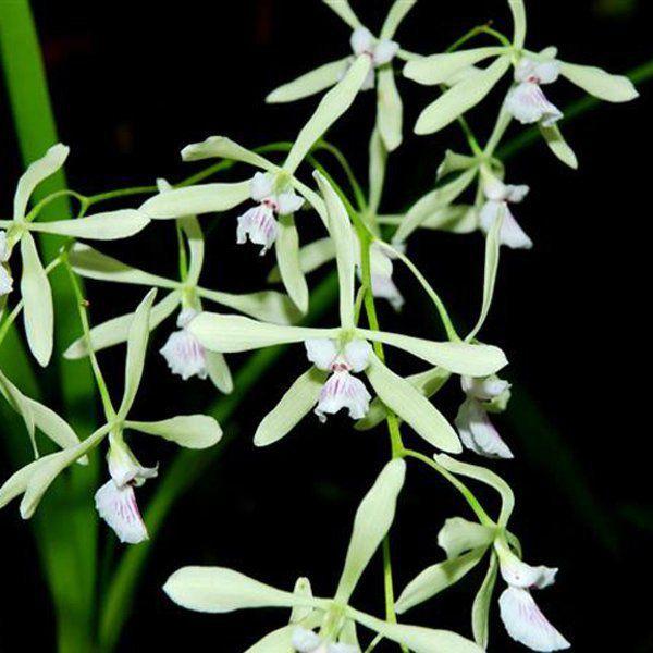 Muda de Orquídea Encyclia profusa ESP-138-PA