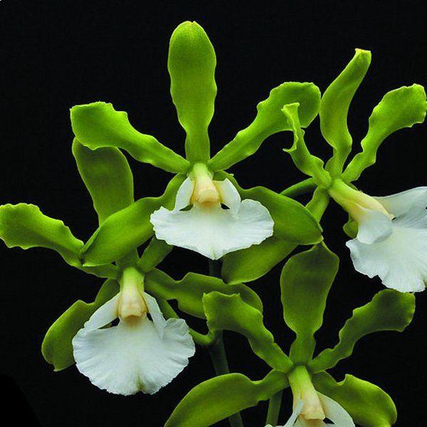 Muda de Orquídea Encyclia randii var alba ESP-139-2