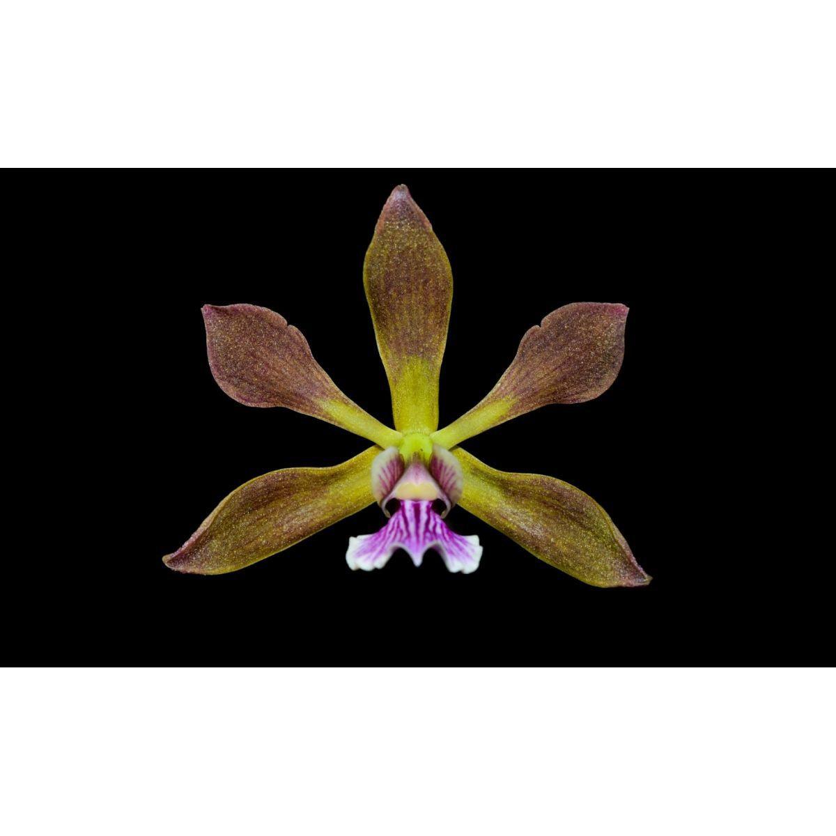 Muda de Orquídea Encyclia SP