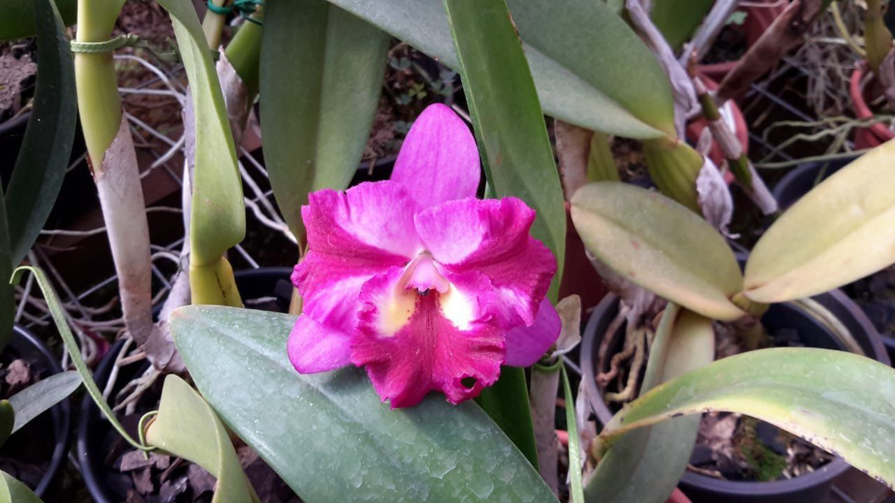 Muda de Orquídea Hksa Sogo Doll Little Angel SG-7265