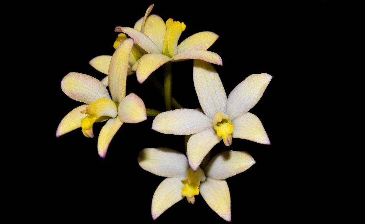 Muda de Orquídea Laelia Kleberi Magenta
