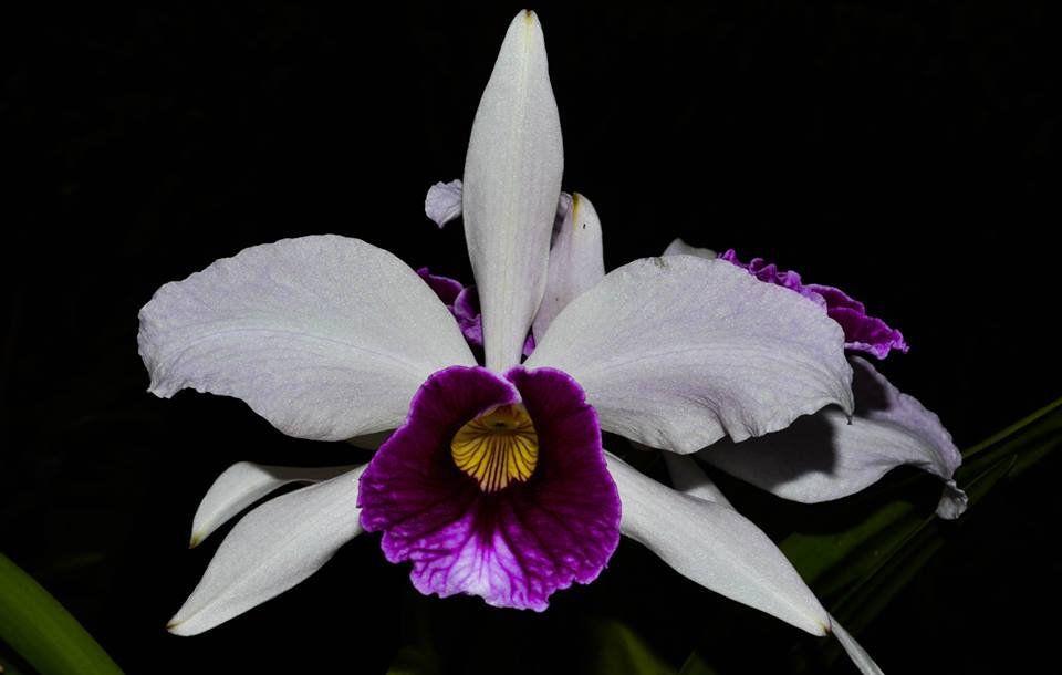 Muda de Orquídea Laelia Purpurata (aço x tipão)