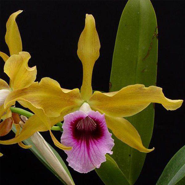 Muda de Orquídea Laelia tenebrosa var aurea ESP-175-PA