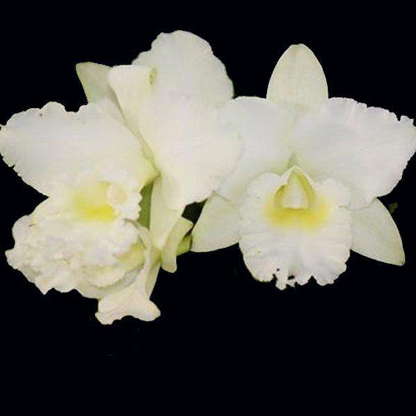 Muda de Orquídea Lc Bernardine Kennedy White Jewel 916-PA