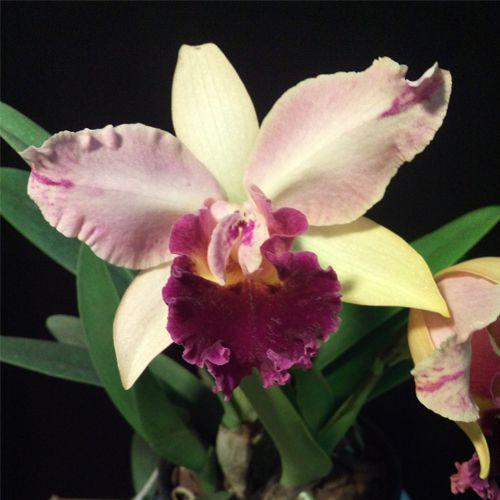 Muda de Orquídea Lc Haw Yuan Beauty x Lc Mikkie Nagata 1 556-2