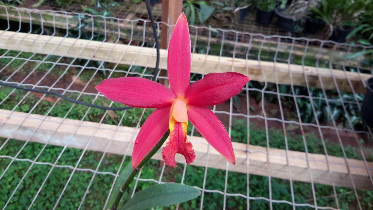 Muda de Orquídea Lc Koolau Segulls Volcano Queen SG-7269