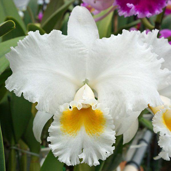 Muda de Orquídea Lc. Oconne Mendenhall x Blc. Genesis Alpha x C. Empress Bells Stephenson 8170-2