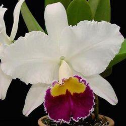 Muda de Orquídea Lc Sheila Lauterbach Equilab 027-1