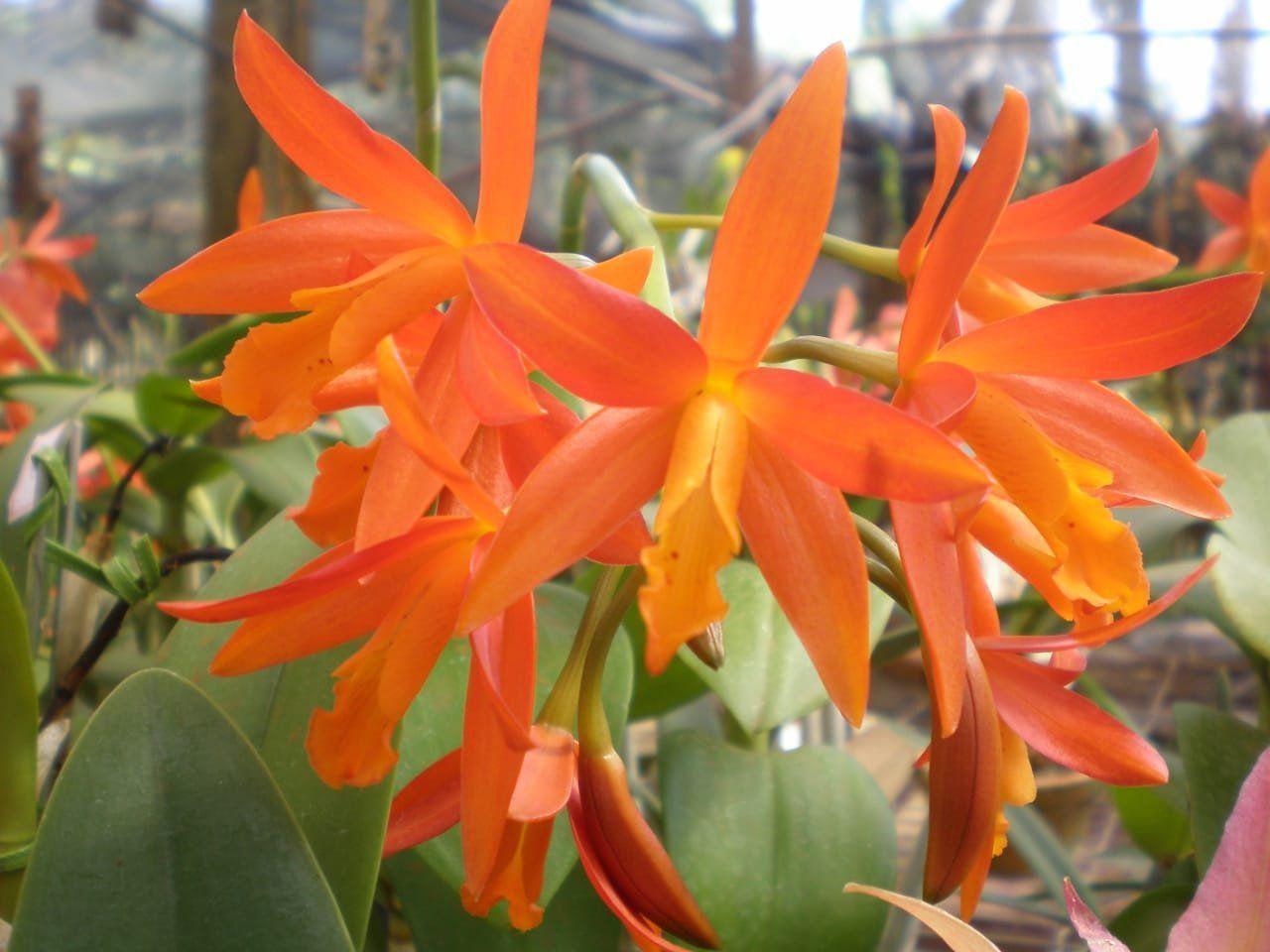 Muda de Orquídea Lc Trick or Treat Orange Magic SG-7367