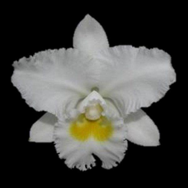 Muda de Orquídea Lc White Diamond 909-PA