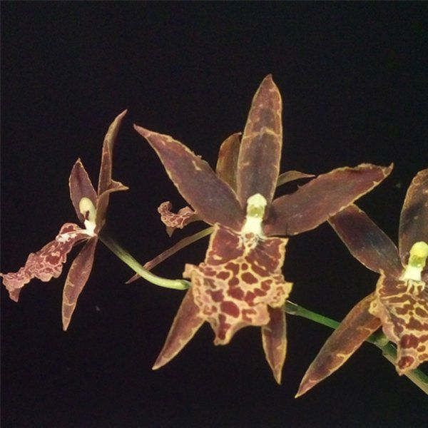 Muda de Orquídea Miltassia Shelob Tolkien MO21-PA
